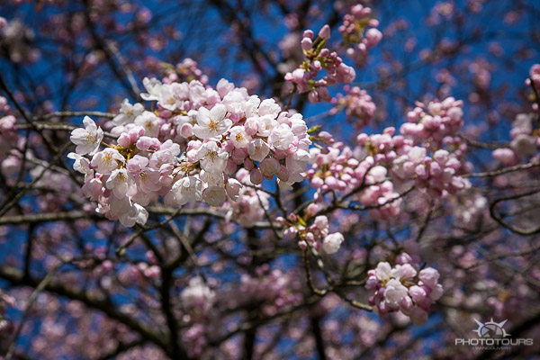 Photo Tours Vancouver blooming plum tree by Aura McKay