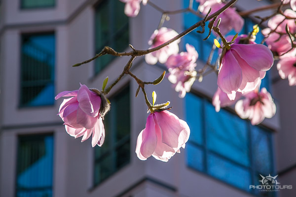 Photo Tours Vancouver blooming magnolia tree in the West End by Aura McKay