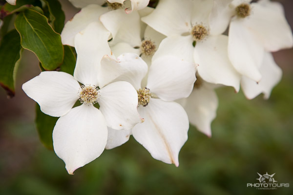 Photo Tour Vancouver dogwood flower, BC's provincial flower/tree by Aura McKay