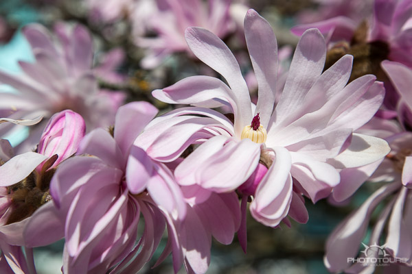 Photo Tours Vancouver magnolia blossoms by Aura McKay